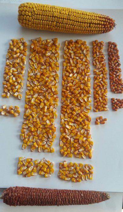 Форма семян кукурузы с разных участков початка