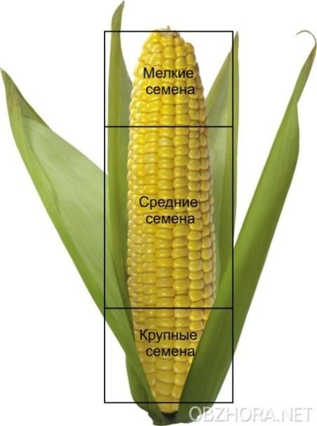 Распределение семян кукурузы в початке по крупности
