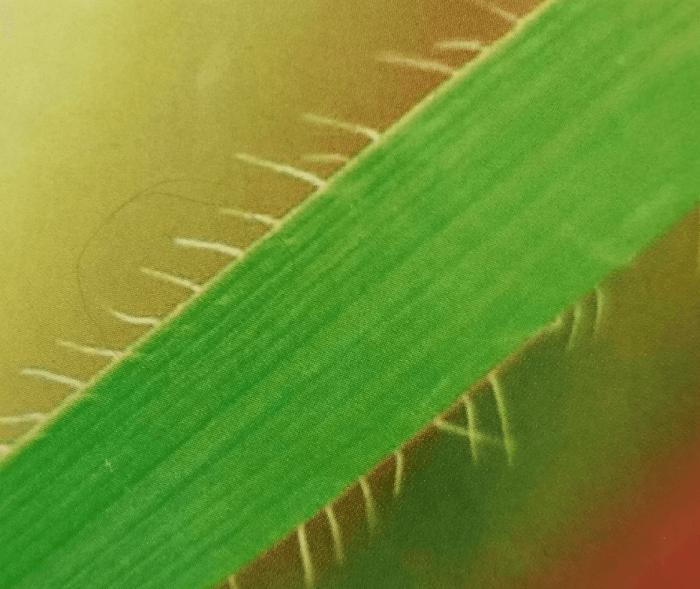 Эгилопс цилиндрический