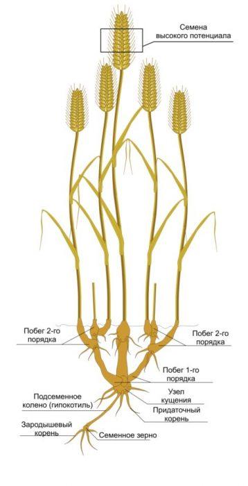 Рис. 1. Кущение пшеницы и формирование семян.