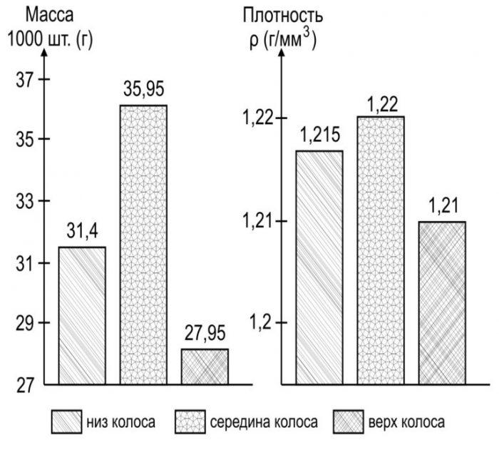 Рис. 3. Масса 1000 шт. зерен (г) и плотность (г/мм³) зерен разных частей колоса.