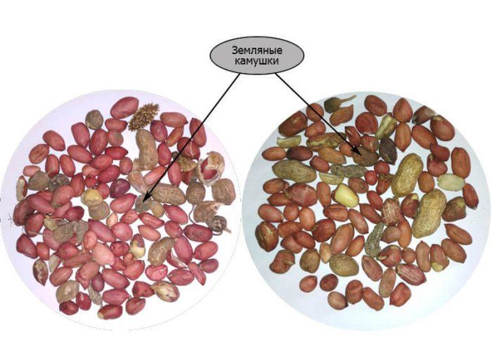 Исходный материал сорта арахиса «Кремена» и «Адата»