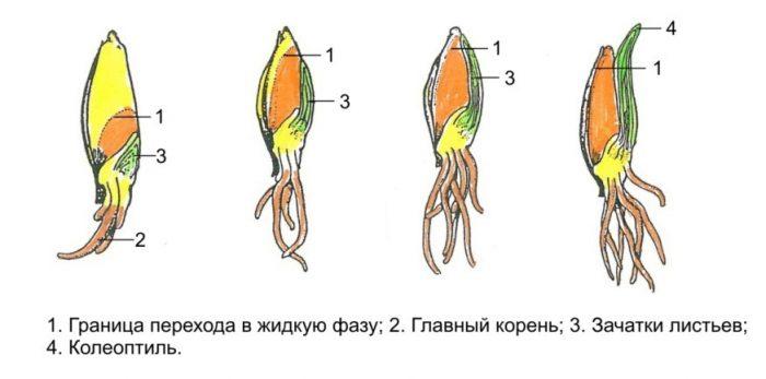 Рис. 7. Процесс перехода питательных веществ семянки ячменя в жидкую фазу.