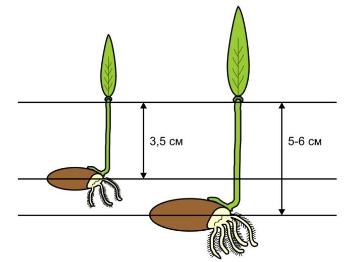 Рис. 11. Схема прорастания мелких и крупных семян.