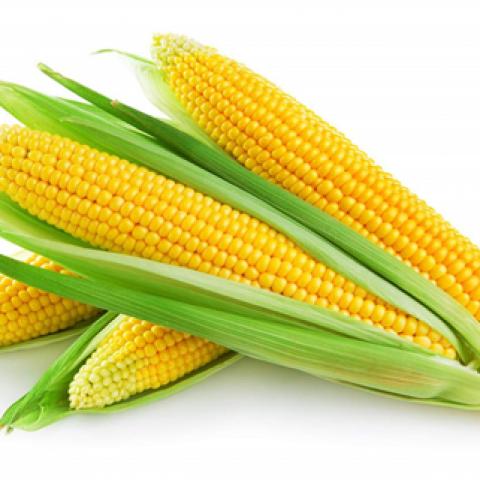 Щадящая пофракционная технология производства сильных семян кукурузы.