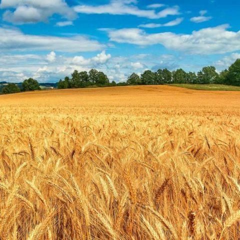 Щадящая пофракционная технология производства сильных семян пшеницы